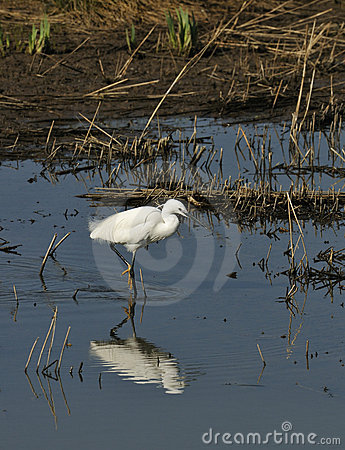 Free Little Egret Royalty Free Stock Image - 19403466