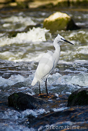 Little Egret - In Breeding Plumage