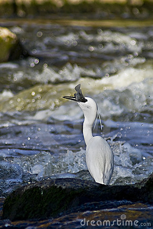 Little Egret - Catching Fish