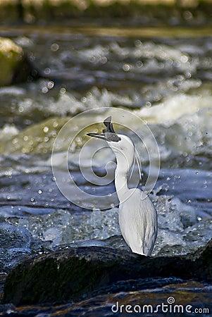 Little Egret - Catching Fish