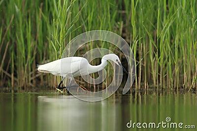 Little Egret Egretta Garzetta hunting