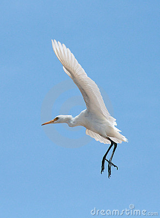 Little Egret (Egretta Garzetta) in the sky