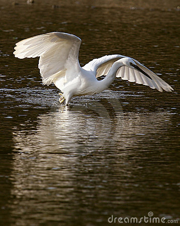 Free Little Egret Fishing Royalty Free Stock Images - 12403169