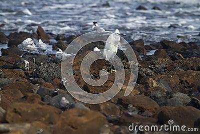 Little egret and Sandwich Terns
