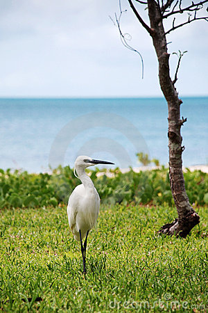 Little Egret (small white heron)