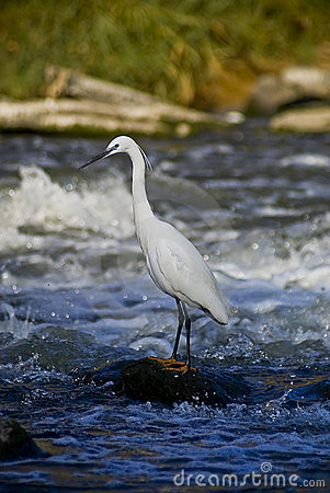 Little Egret - Wades Out Into The River