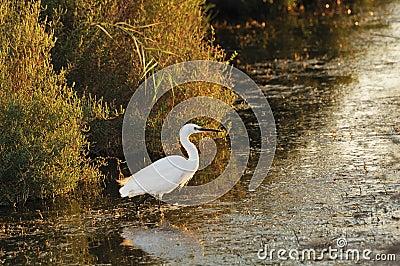 Little egret walking in shallow water