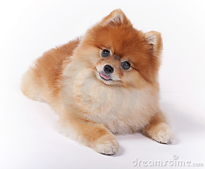 Little Female Pomeranian Pet Show Dog