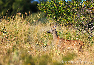 Little female roe-deer