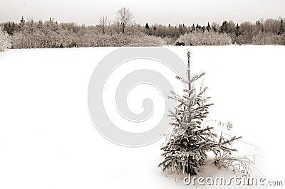 Little fir
