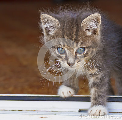Free Little Fluffy Kitten Overstep The Threshold Of The House Stock Image - 78260011