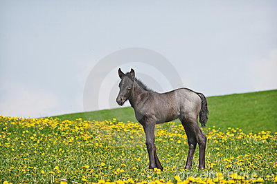 Little foal in field