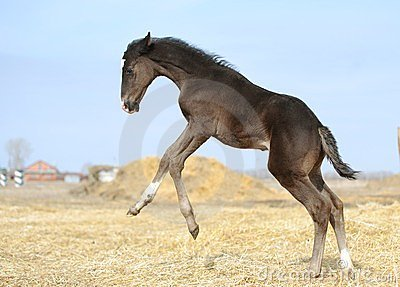 Little foal is jumping