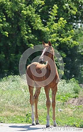 Little foal standing portrait