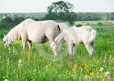 Little foal of welsh pony with mom  in the grassland