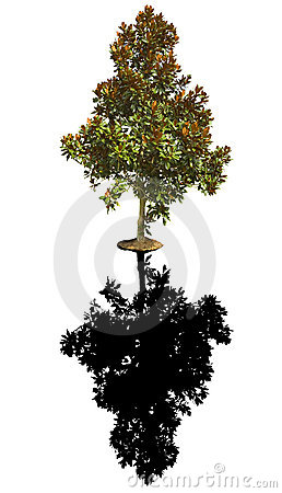 Free Little Gem Magnolia Tree Stock Photography - 6561892