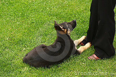 Little German Shephard Dog Puppy Royalty Free Stock Image - Image: 16358736