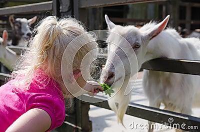 Little girl feeds goats on a farm Stock Photo