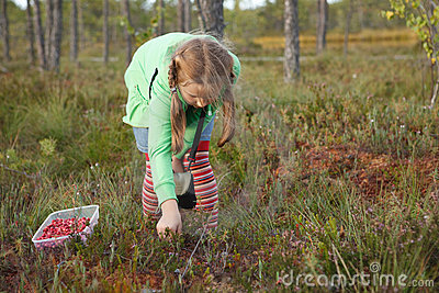 Little girl harvesting wild cranberries