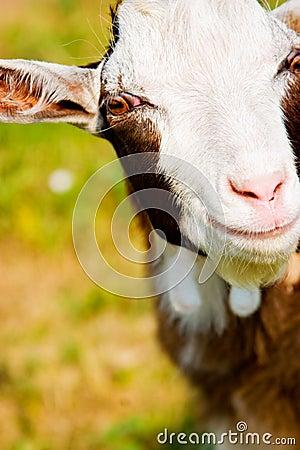 A little goat head