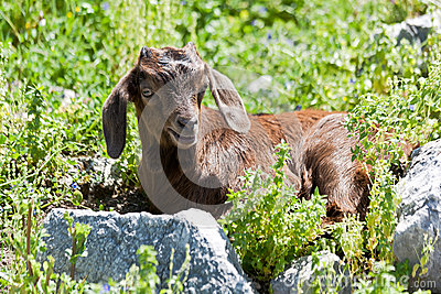 Little goat.