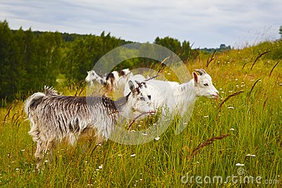 Little goats at the pasture