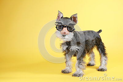 Little Goofy Minuature Schnauzer Puppy Dog