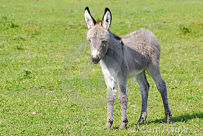 Little gray donkey