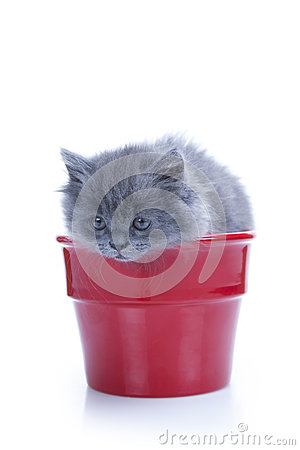 Little gray kitten in pot