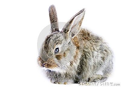 Little gray rabbit