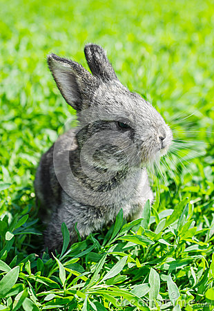 Little gray rabbit on the green lawn