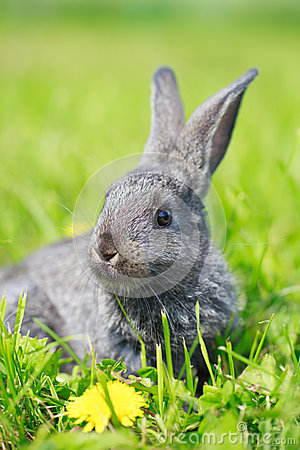 Little gray rabbit
