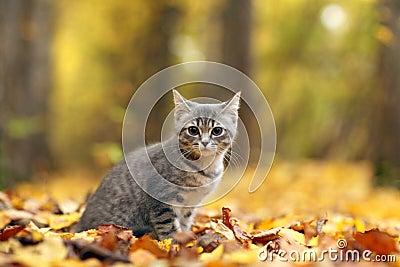 Little grey kitten in orange leaves