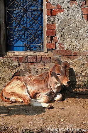 A little grown up calf resting next to blue window
