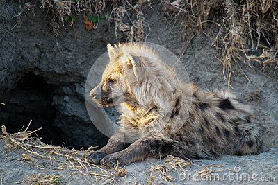 Little Hyena, Portrait