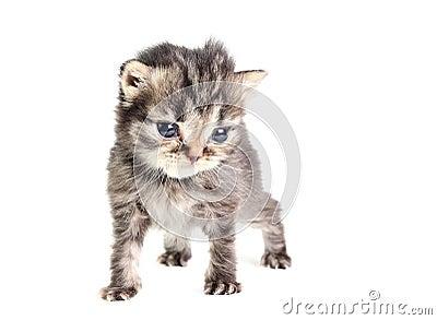 Little kitten isolated