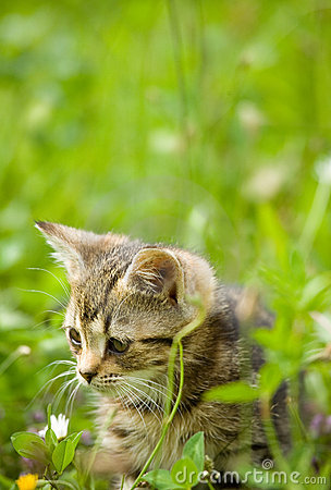 Free Little Kitten On Hunting Royalty Free Stock Images - 10556069