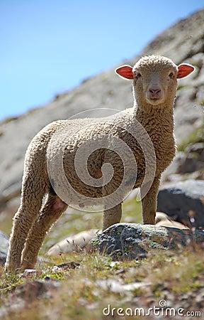 Little Lamb #3