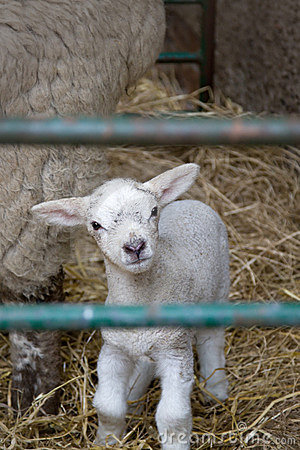Free Little Lamb Stock Photography - 4888422