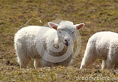 Lamb chewing