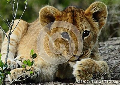 Little lion cub