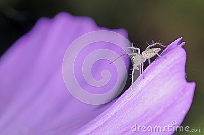 Little lynx spider