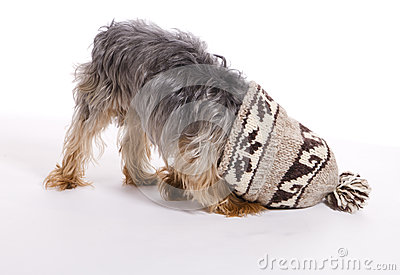 Little Male Yorkie Dog Pet Stuck in Hat
