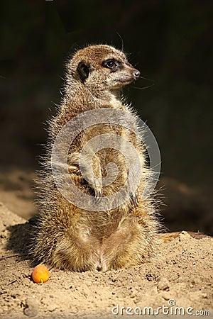 Little meerkat standing upright