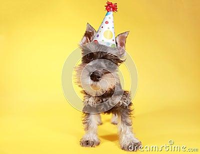 Little Minuature Schnauzer Puppy Dog