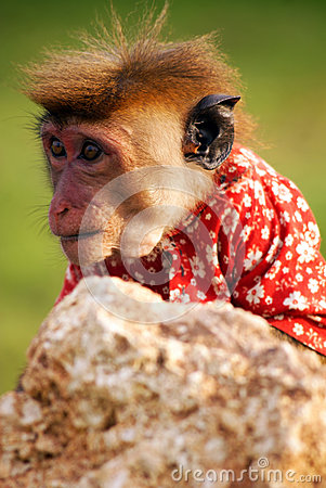 Free Little Monkey In Shirt Royalty Free Stock Image - 65375736