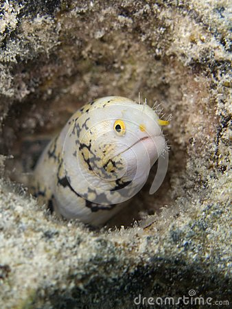 Little moray eel