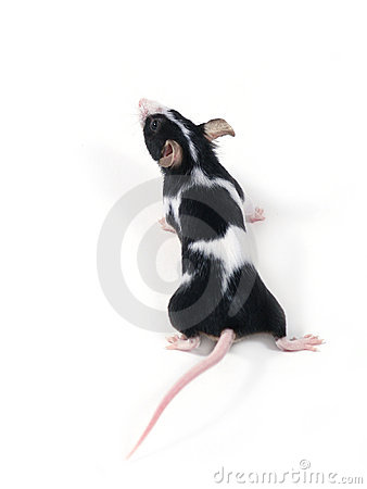 Free Little Mouse Royalty Free Stock Images - 507519