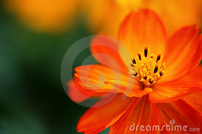 Little orange flower