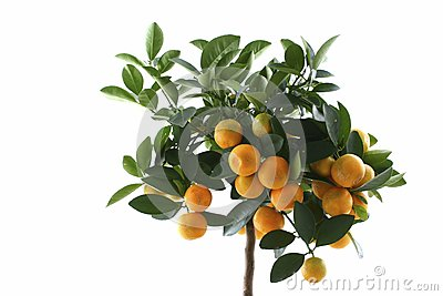 Little orange tree isolated